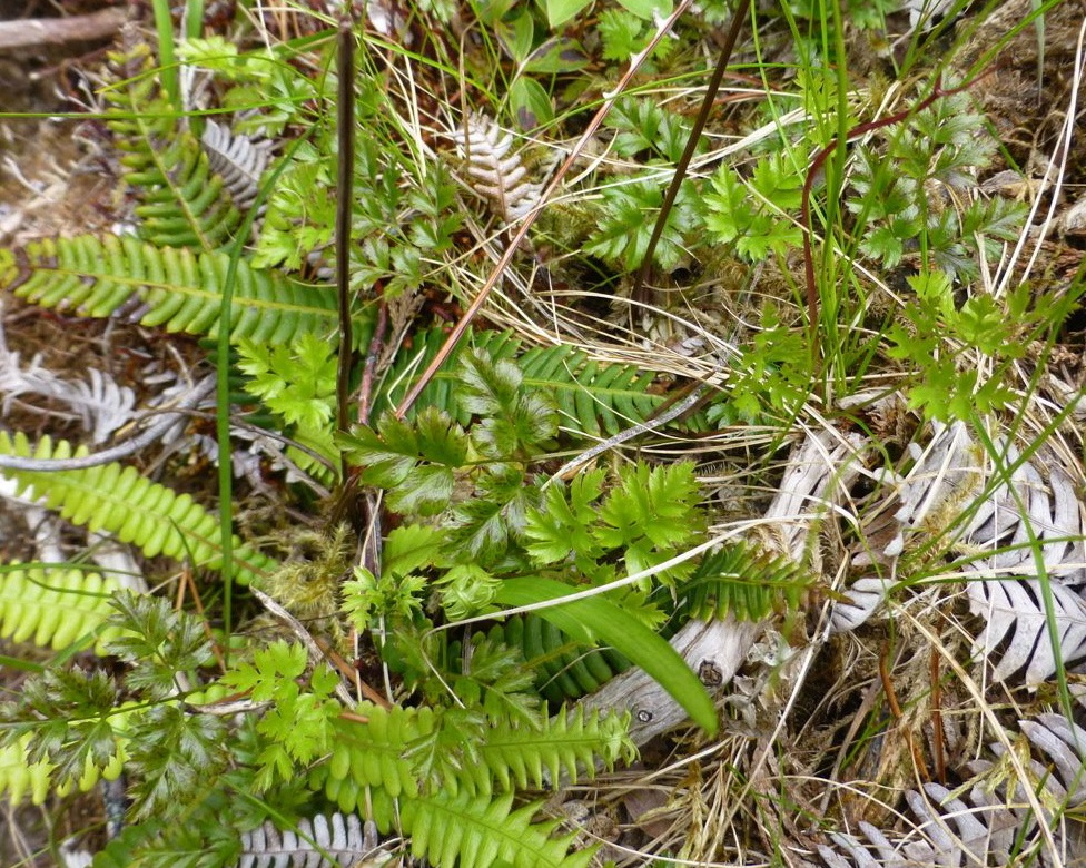 Fern-leaved goldthread (Coptis asplenifolia)
