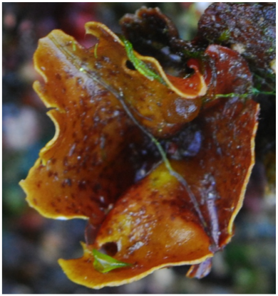 Cup and saucer seaweed (Constantinea simplex)