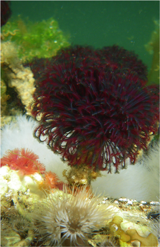 Northern feather duster worm (Eudistylia vancouveri)