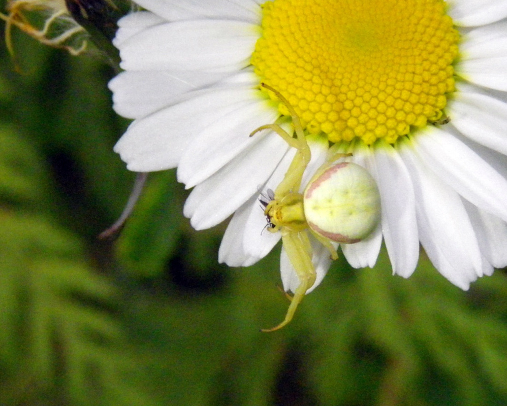 Goldenrod crab spider, flower crab spider, red-spotted crab spider (Misumena vatia)