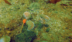 Orange sea pen (Ptilosarcus gurneyi)