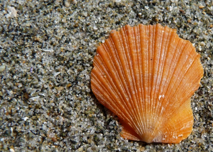 Smooth pink scallop (Chlamys rubida)