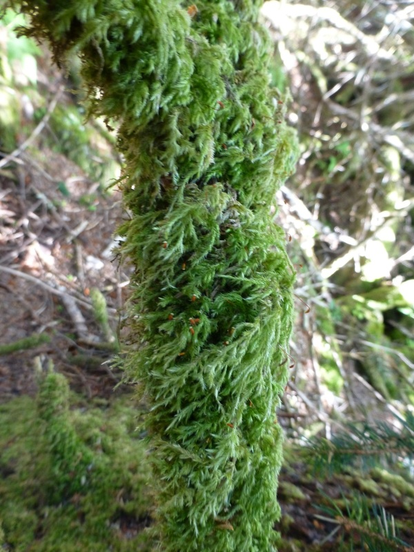 Cat-tail moss (Isothecium myosuroides)
