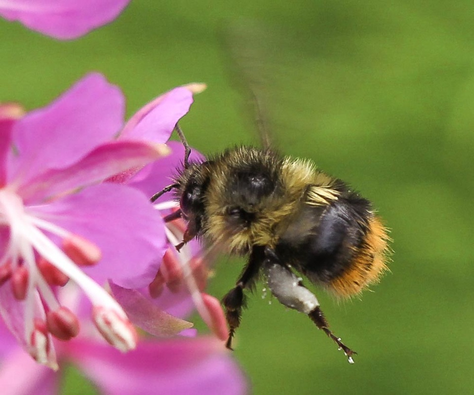 Fuzzy-horned bumble bee, orange-belted bumble bee (Bombus mixtus)