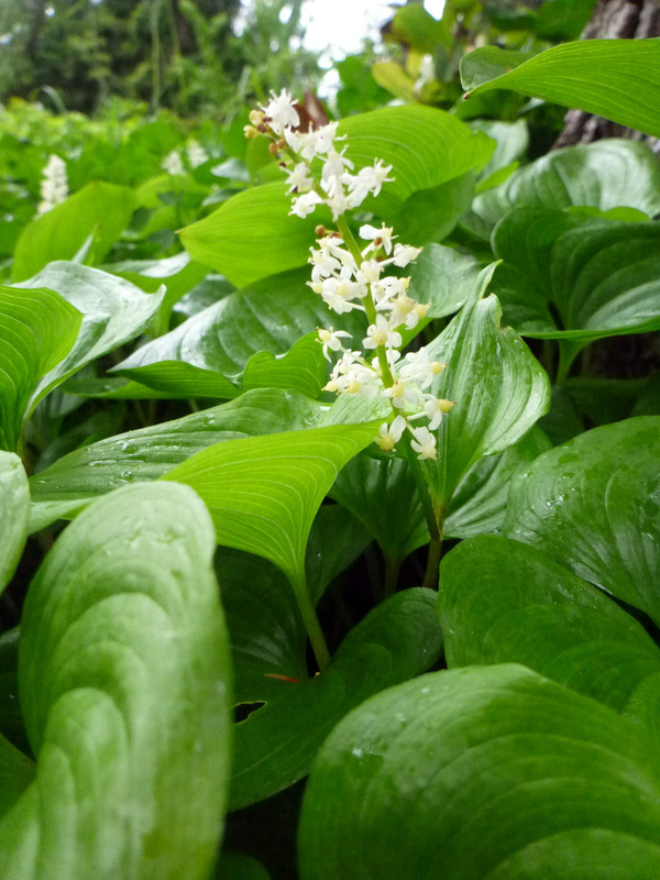 False lily-of-the-valley (Maianthemum dilatatum)