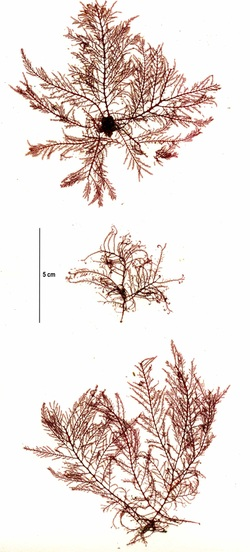 Delicately-branched red seaweed (Bonnemaisonia californica, Bonnemaisonia nootkana)