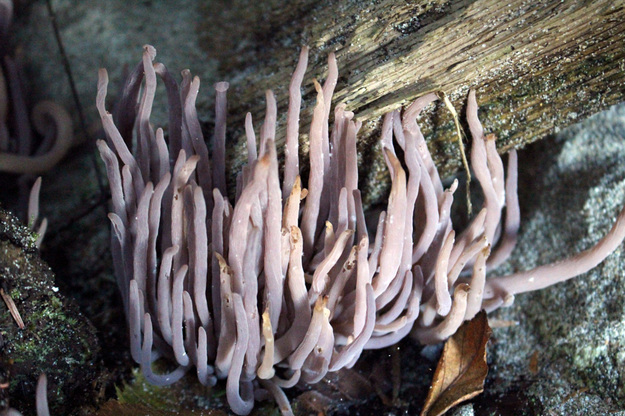 Purple club coral (Alloclavaria purpurea)