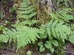 Spiny wood fern (Dropteris expansa)