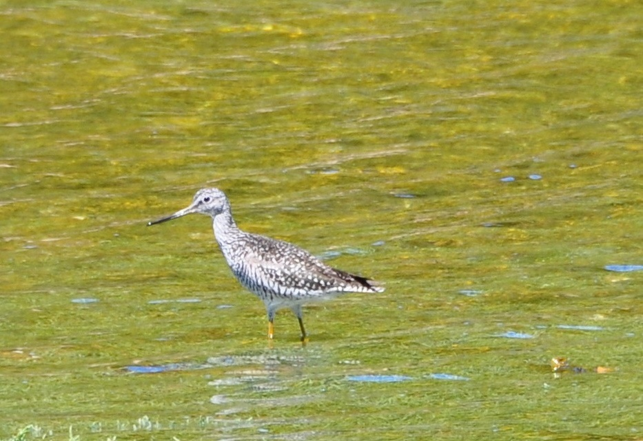 Greater yellow-legs (Tringa melanoleuca)