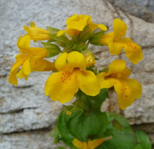 Yellow monkey-flower (Mimulus guttatus)