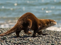 River otter (Lontra canadensis pacifica)