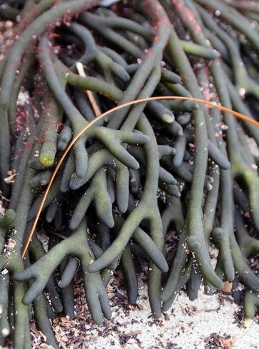 Sea staghorn (Codium fragile ssp. californicum)