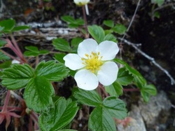Coastal strawberry (Fragaria chiloensis)