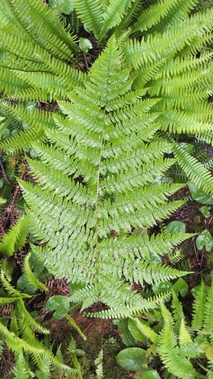 Lady fern (Athyrium filix-femina ssp. cyclosorum)