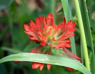 Common red paintbrush  (Castilleja miniata)
