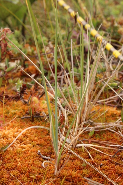 Pale sedge (Carex livida)