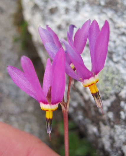 Few-flowered shootingstar  (Dodecatheon pulchellum)