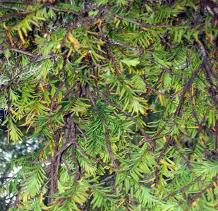 Western yew (Taxus brevifolia)