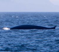 Fin whale (Balaenoptera physalus)