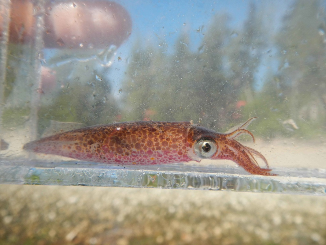 Opalescent squid (Doryteuthis opalescens)