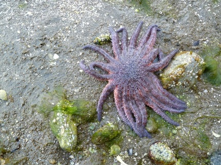 Sunflower star (Pycnopodia helianthoides)