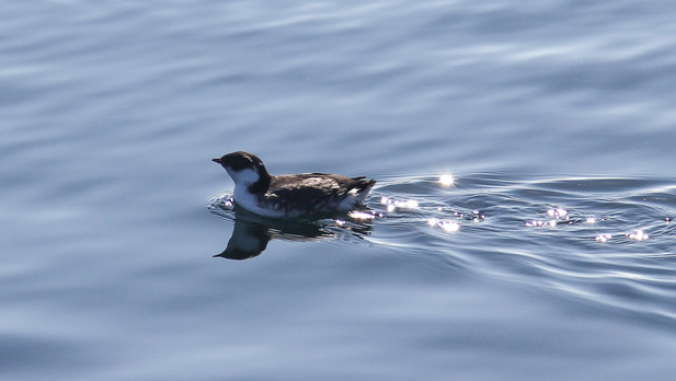 Ancient murrelet (Synthliboramphus antiquus)