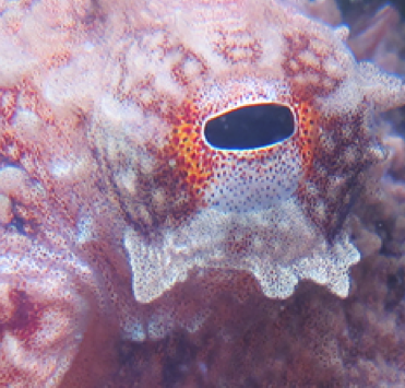 Pacific red octopus (Octopus rubescens)