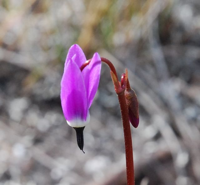Tall mountain shootingstar (Dodecatheon jeffreyi)
