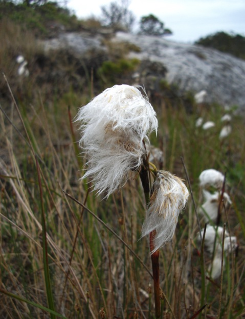 Narrow-leaved cotton-grass (Eriophorum angustifolium)
