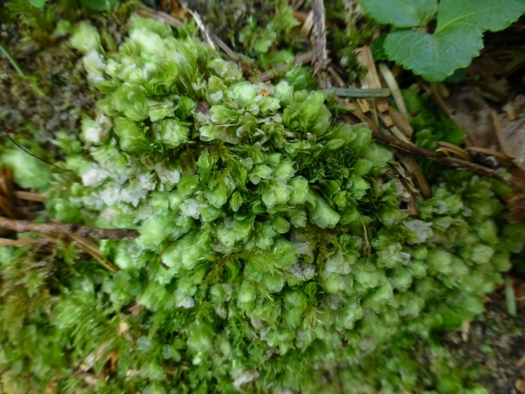 Clear moss (Hookeria lucens)