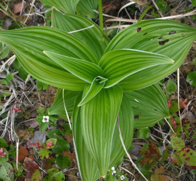 Green false hellebore  (Veratrum viride)