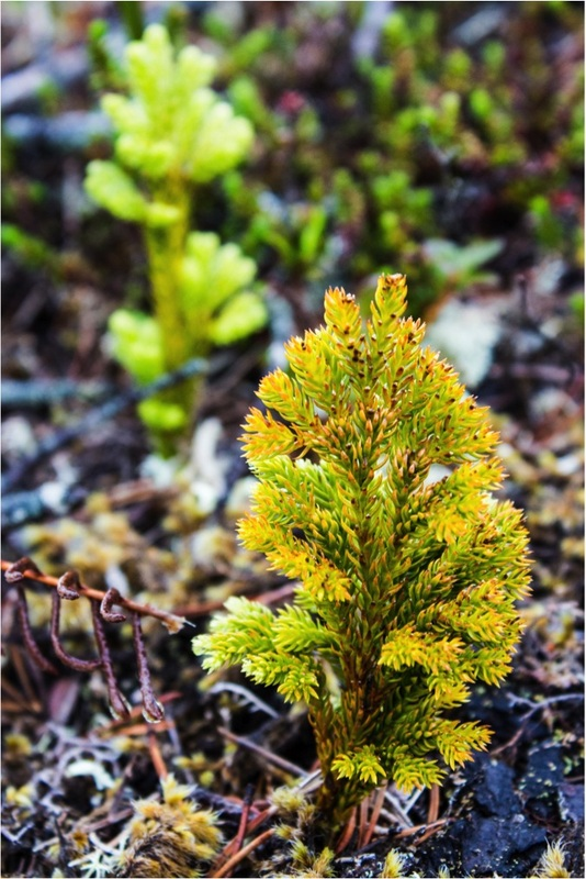 Ground-pine (Lycopodium dendroideum)
