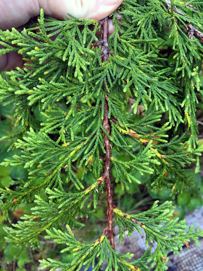 Yellow-cedar (Xanthocyparis nootkatensis)